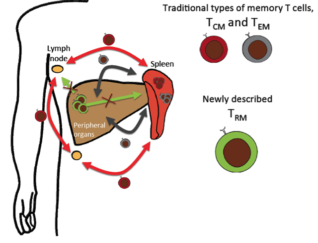 scheme showing origins of different types of memory T cells