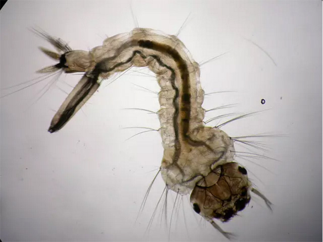 mousquito larva