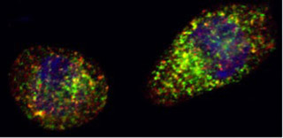 photomicrograph showing Lec2-Langerin cells stained with Langerin (green), clatherin (red) and DAPI (blue)