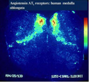 imaging angiotensin receptors in the human medulla oblongata