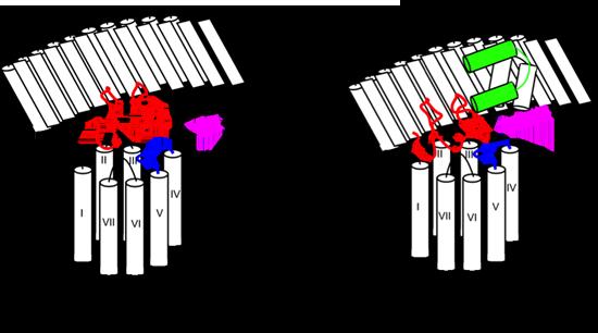 model showing RXFP! activation