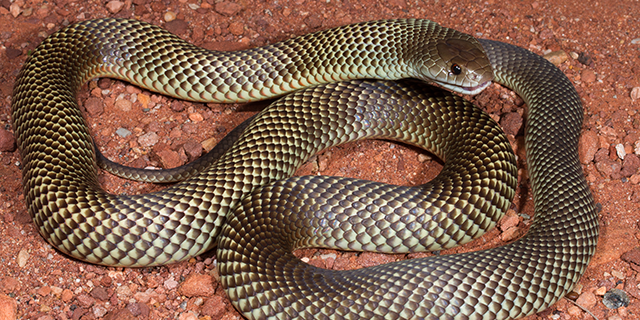 photo of Pseudechis australis, the King Brown or Mulga snake