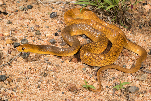 photo of Pseudonaja nuchalis, the Northern Brown Snake