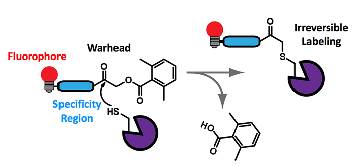 scheme showing mechanism of cysteine protease binding to a quenched activity-based probe