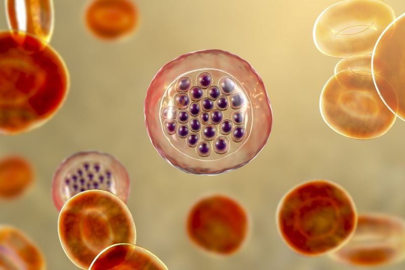 An illustration showing a red blood cell infected with malaria parasites.