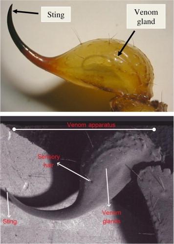 venom apparatus scorpion