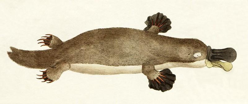 platypus drawing