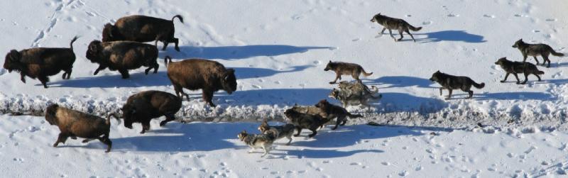 Wolves bison