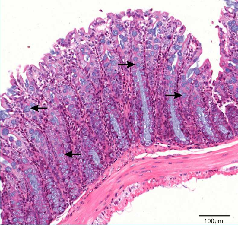 section of colon showing Goblet cells
