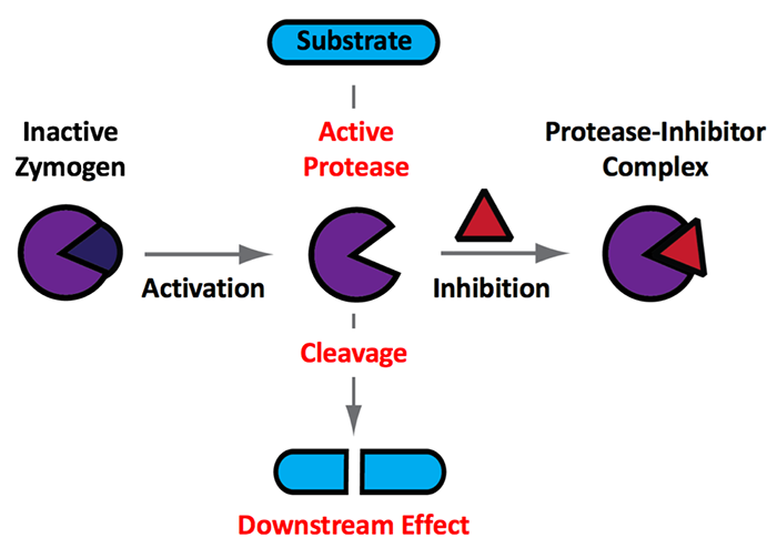 scheme showing post translational control of protease activity