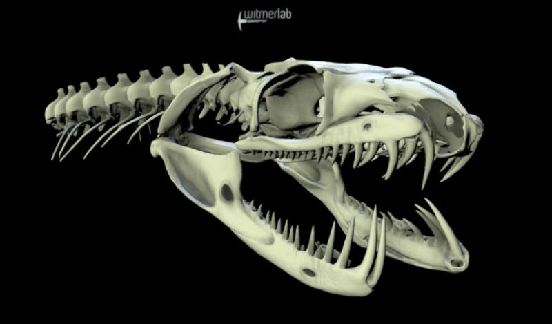 Boa skull