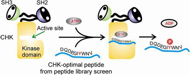 scheme showing CHK-optimal peptide