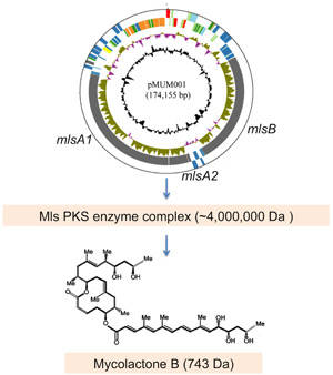scheme showing proposed pathway for production of mycolactones in Mycobacterium ulcerans