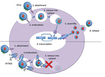 Schematic depicting the stage during the viral replication cycle targeted by IFITM3