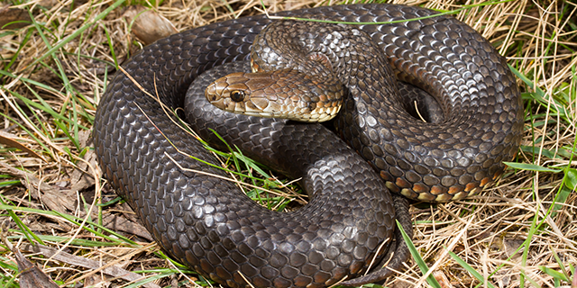 photo of Austrelaps ramsayi, the Highlands Copperhead
