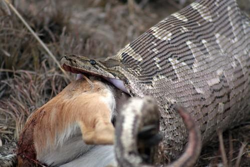 Rock python swallowing antelope