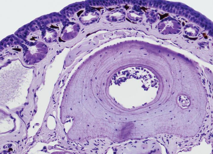 Section of frog bone tissue, used to identify growth ring formation in periosteal bone