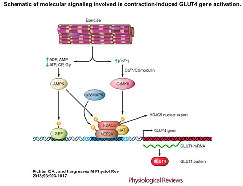 scheme showing molecular signalling in contraction-induced GLUT4 gene activation