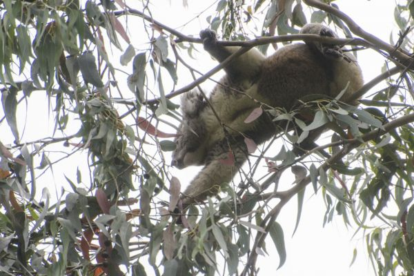 A photo of a koala in a eucalyptus tree, taken from below
