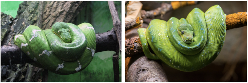 Emerald tree boa and green tree python