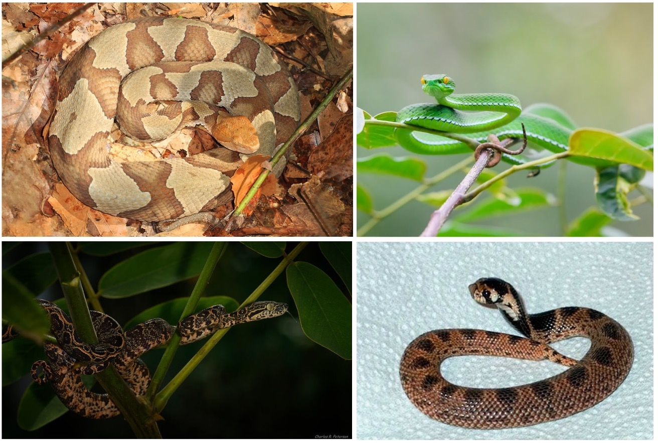 Variation in snake body morphs