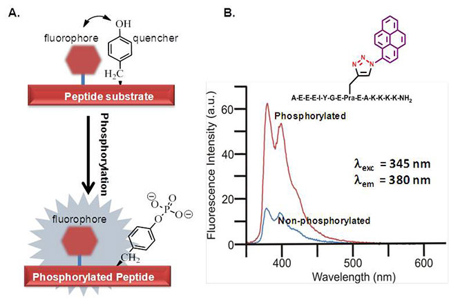 Scheme showing development of first generation of self-reporting chemosensor peptide substrate of Src-family kinases