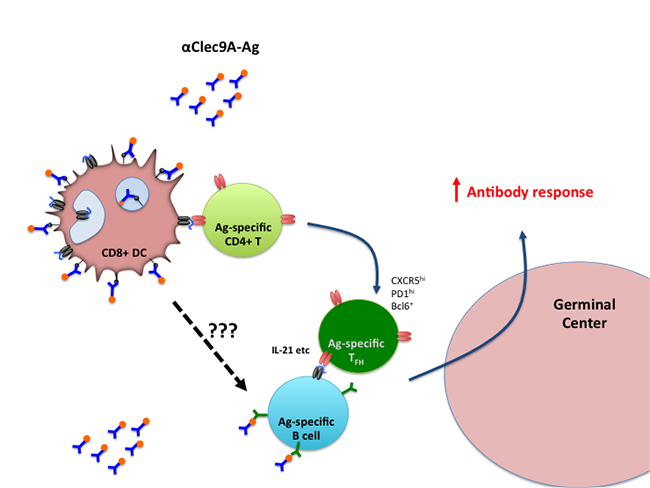scheme showing targeting of Clec9A