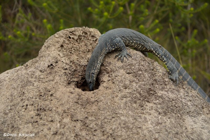 Heath monitor nesting