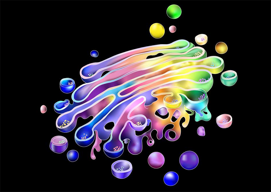 Rainbow-coloured artwork of the golgi apparatus