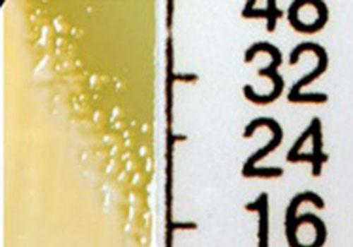 colonies of hetero-resistant Staphylococcus aureus adjacent to a vancomycin impregnated strip on an agar plate