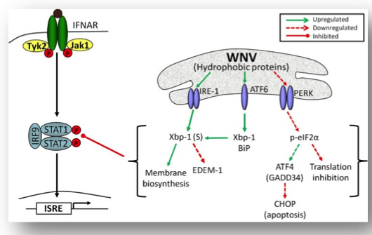 Our current model of how WNV can manipulate and modulate cellular responses to promote survival