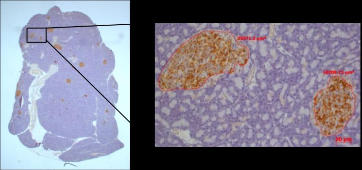 histology of pancreas