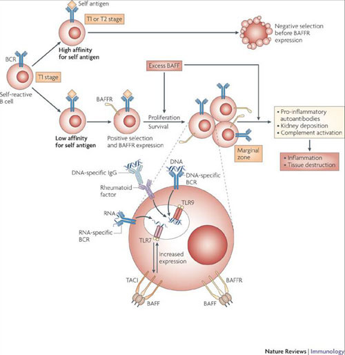 scheme showing role of BAFF cells in immunity