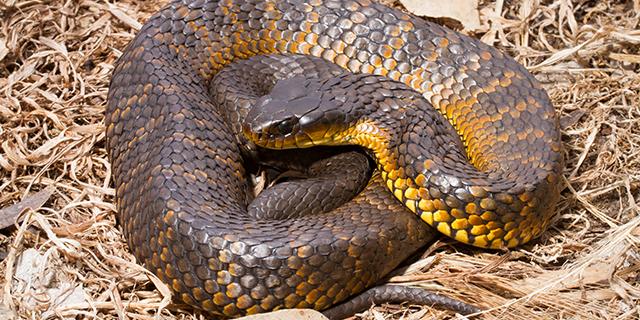 photo of Notechis scutatus, tiger snake