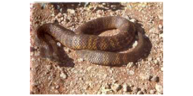 Tiger Snakes Em Notechis Em Sp School Of Biomedical Sciences