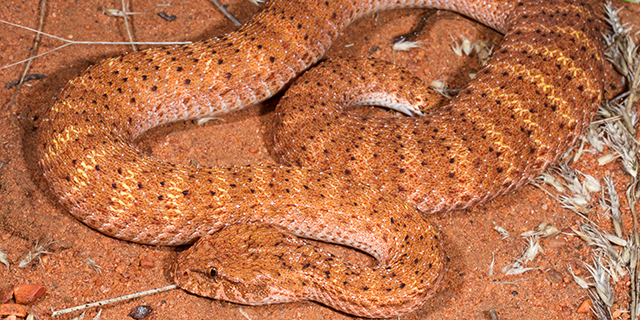photo of Acanthophis pyrrhus, the Desert Death Adder