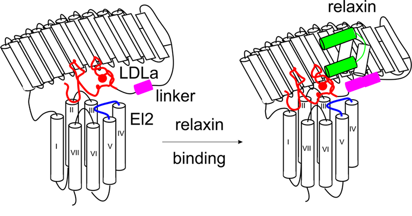 diagram showing model of RXFP1 activation