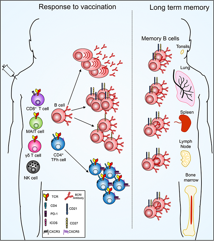 schematic showing long-term immunological memory to influenza viruses resides outside the circulation