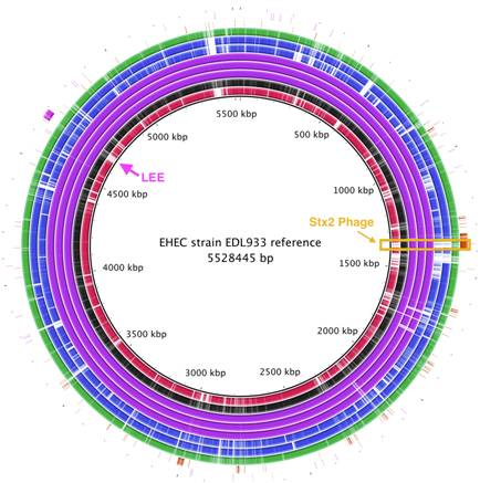 scheme showing E. coli genome