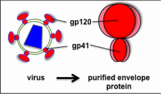 The functional HIV envelope protein is composed three gp120 subunits and three gp41 subunits