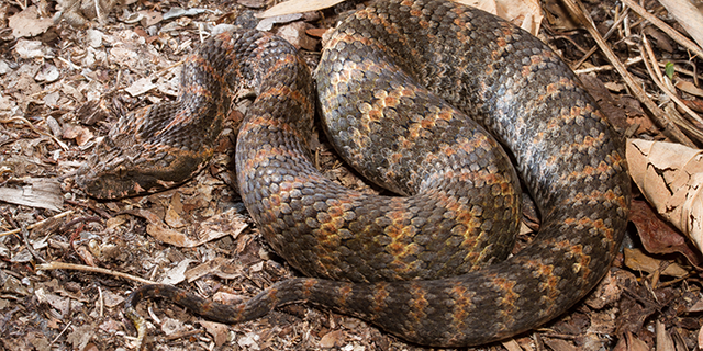 photo of Acanthophis praelongus, the Northern Death Adder