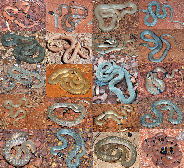 photo montage showing colour variation in Pseudonaja modesta in Western Australia
