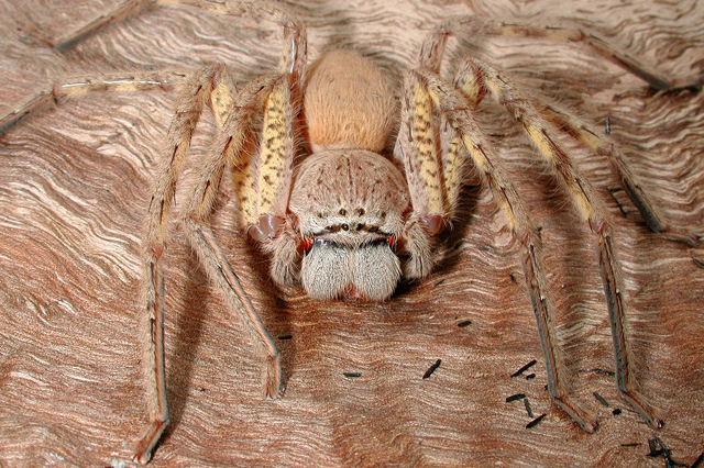 Spiders commonly found in Australia : School of Biomedical
