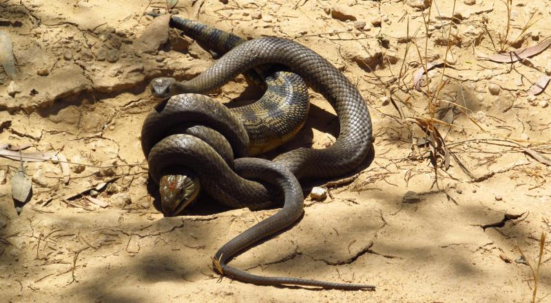 Brown snake blue tongued lizard