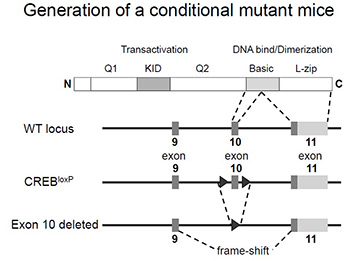 Scheme showing generation of conditional mutant mice