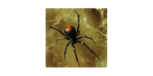 female red back spider