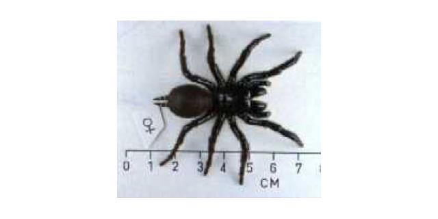 female Sydney funnel web spider