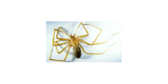 fiddleback spider