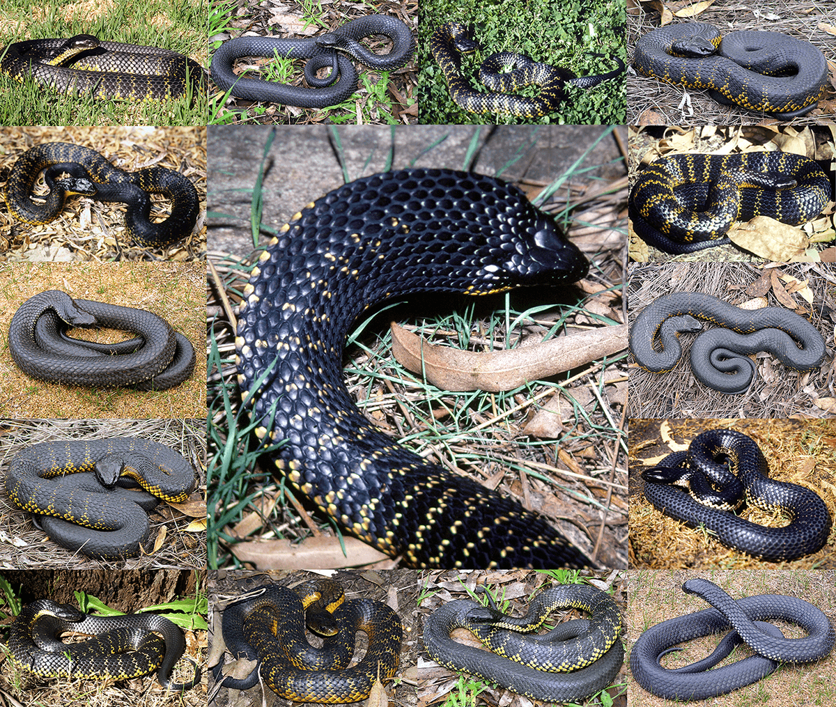 Tiger Snake Emnotechis Em Smallboulenger 1896 Small Anatomy Diagram Image Search Results Notechis Scutatus Montage Showing The Range Of Colour Variation Seen Within This Species In Western Australia Photo Brian