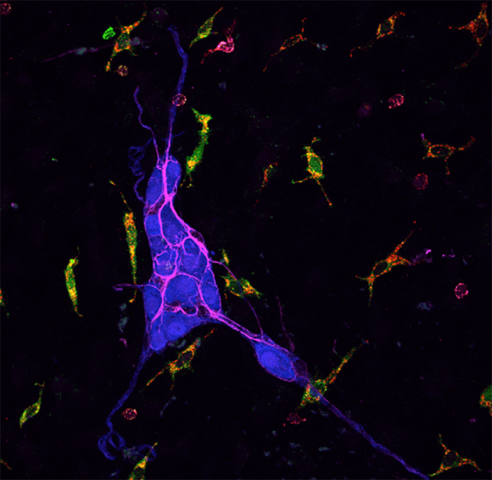 histology section showing protease activity within macrophages associated with enteric neurons in mouse colon tissue